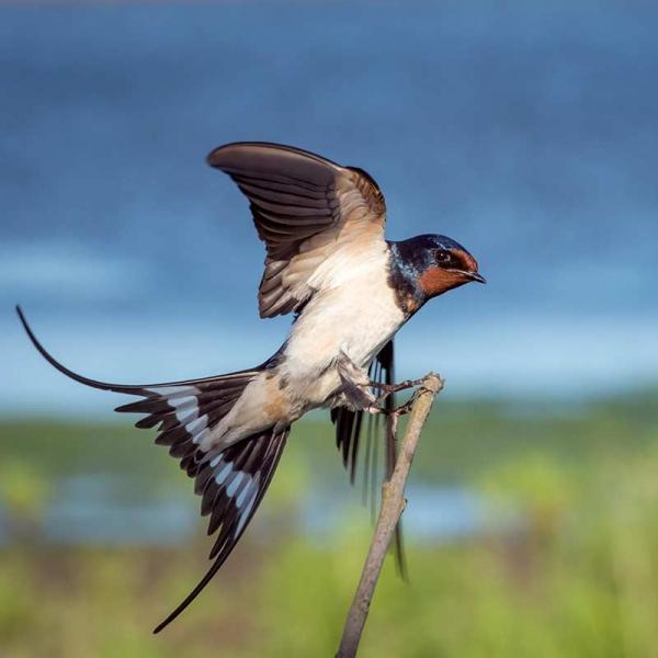 swallow-pest-finn-thatching-service
